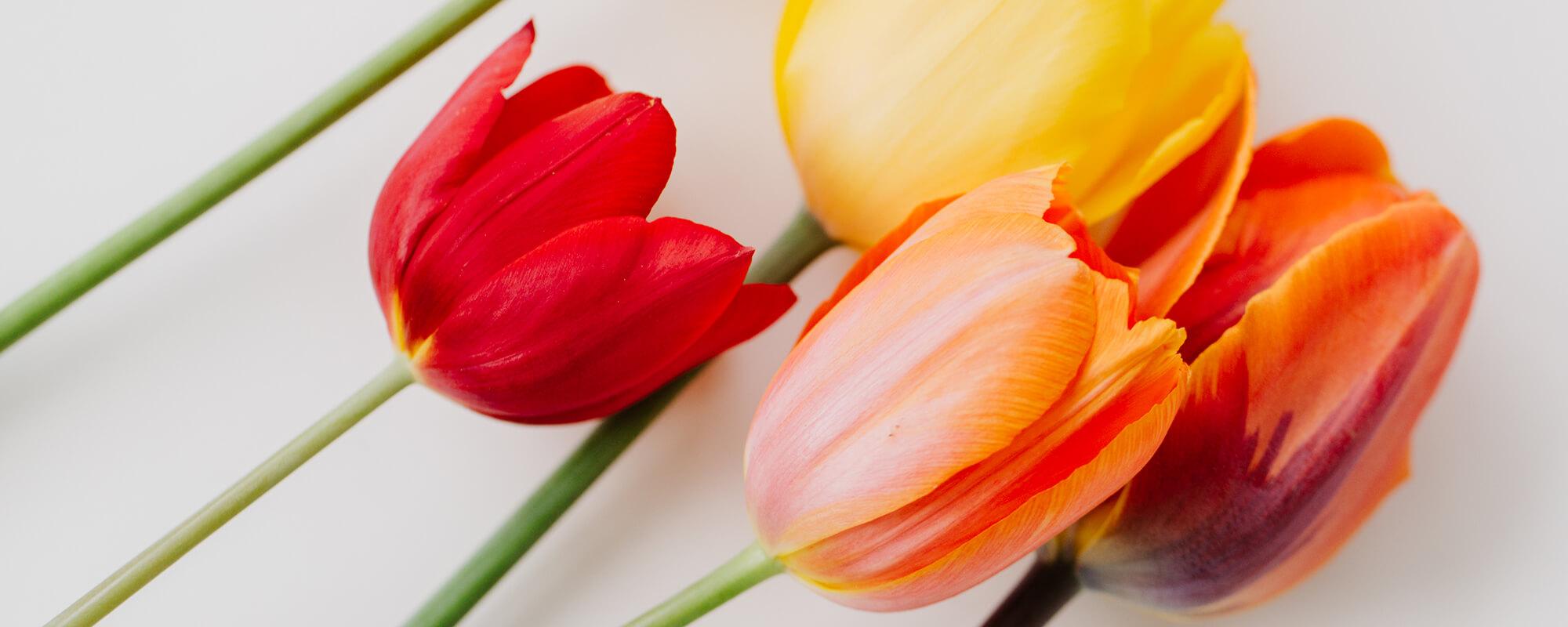 Palliativteam München West - Tulpen